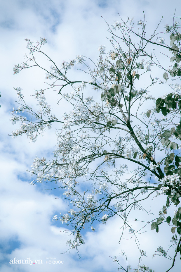 Đẹp đến khó tin: Hàng trăm cây hoa ban nở trắng trời khắp Đà Lạt, cảnh tượng từ xa nhìn như tuyết phủ bao quanh thành phố! - Ảnh 5.