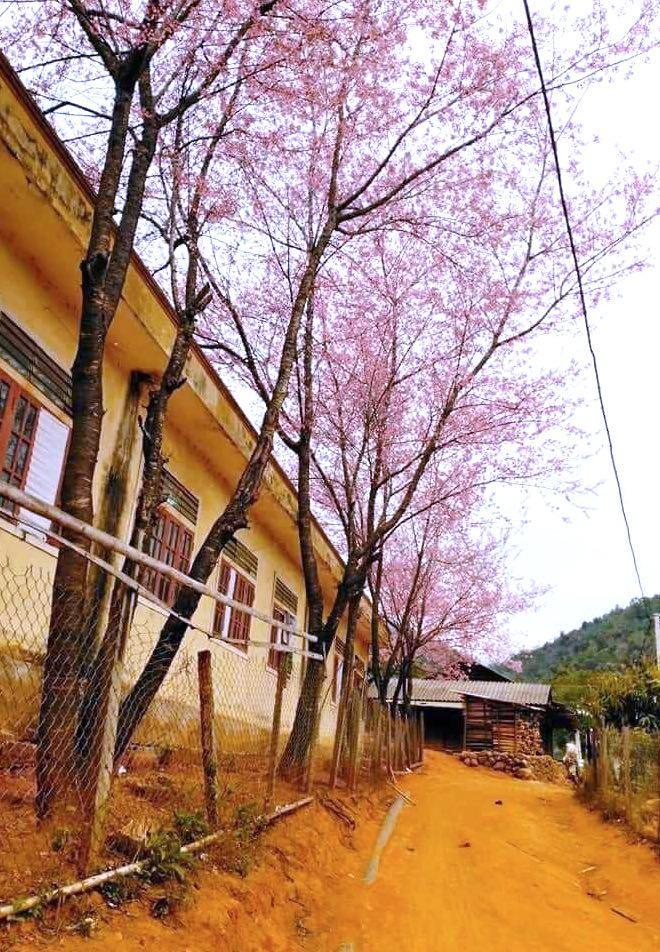 Nghệ An: Hoa đào, hoa mận nở bung tuyệt đẹp trong giá rét trước khi Tết về - Ảnh 14.