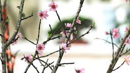 Đào rừng đổ bộ Thủ đô, cành hoa Tết 25 triệu xuất hiện chi tiết lạ chưa từng có
