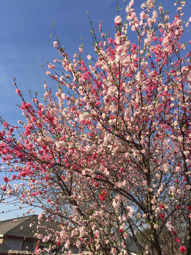 Cây hoa đào mix 3 màu đỏ - hồng - trắng siêu quý hiếm khoe sắc rực rỡ khiến ai nấy mê mẩn ngắm nhìn  - Ảnh 3.