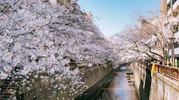 Siêu ngây ngất cảnh toàn thủ đô Tokyo bao trùm dưới hàng trăm nghìn cây hoa anh đào bởi hiện tượng nở sớm nhất trong 1.200 năm qua ống kính của anh chàng người Việt