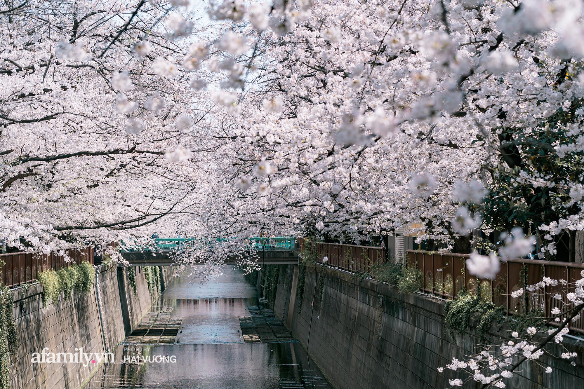 Siêu ngây ngất cảnh toàn thủ đô Tokyo bao trùm dưới hàng trăm nghìn cây hoa anh đào bởi hiện tượng nở sớm nhất trong 1.200 năm qua ống kính của anh chàng người Việt - Ảnh 3.