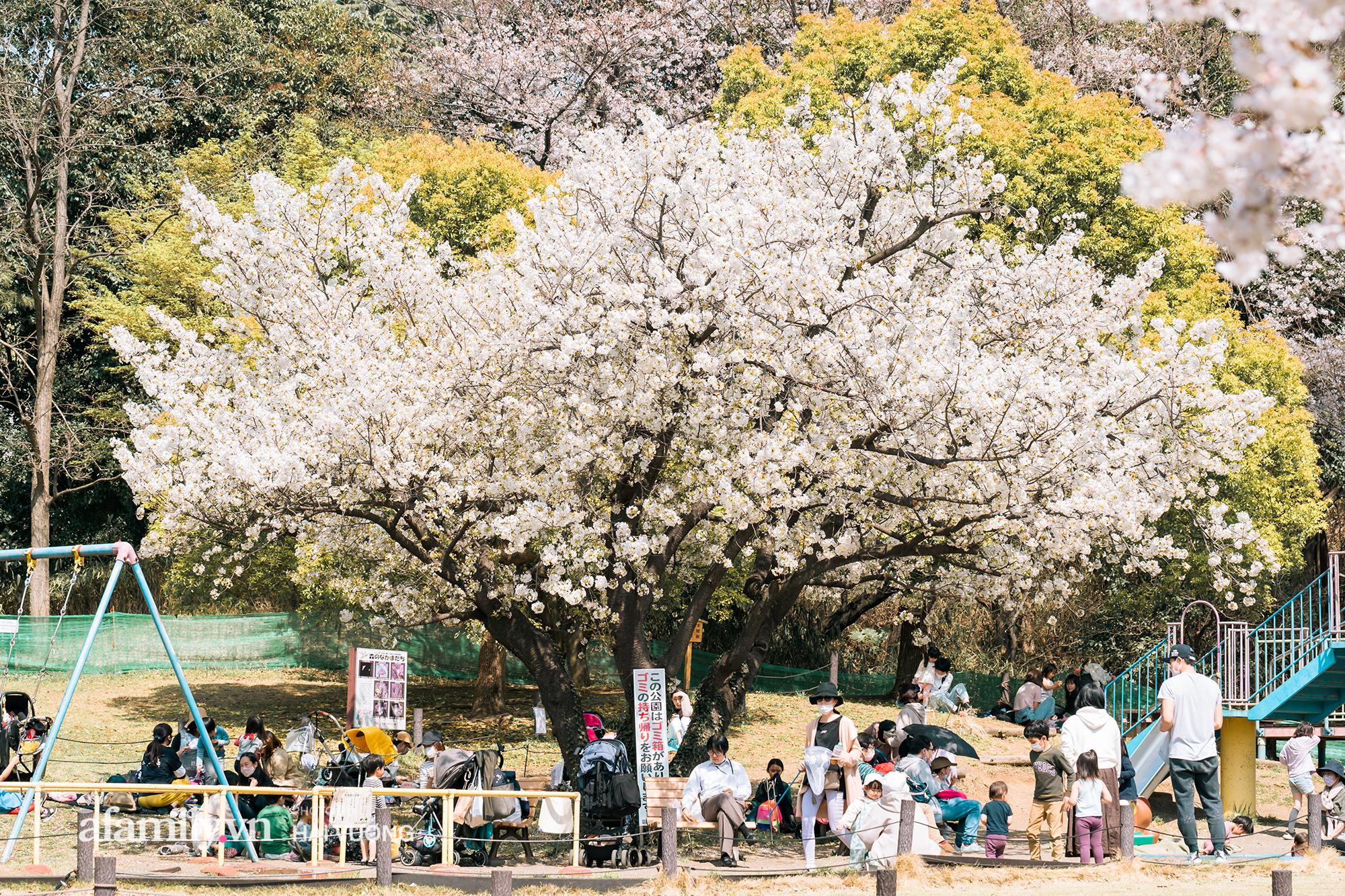 Siêu ngây ngất cảnh toàn thủ đô Tokyo bao trùm dưới hàng trăm nghìn cây hoa anh đào bởi hiện tượng nở sớm nhất trong 1.200 năm qua ống kính của anh chàng người Việt - Ảnh 1.