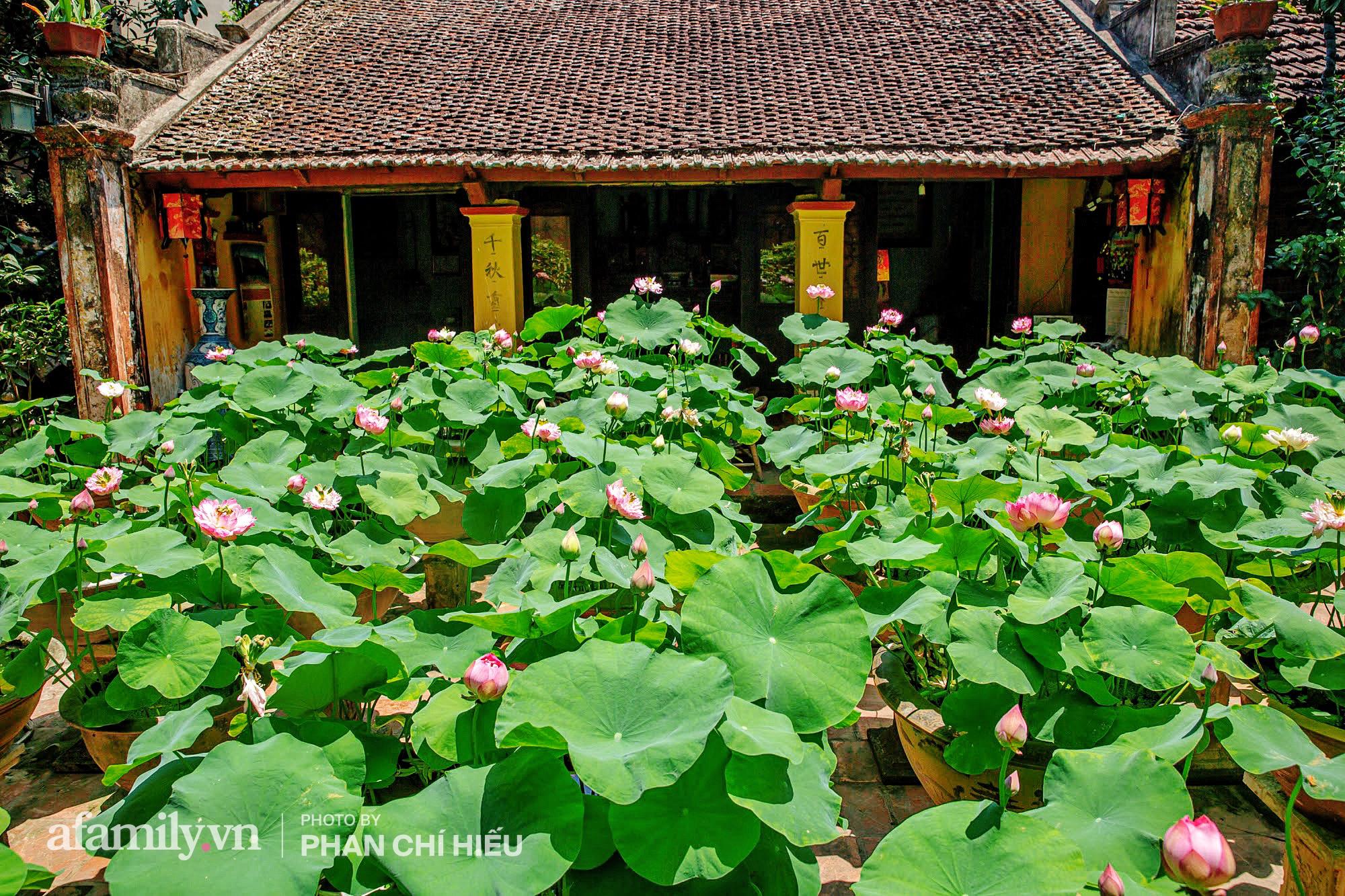 Độc đáo với thú chơi sen cung đình Huế tại Hà Nội, nở hoa tuyệt đẹp giữa ngôi nhà cổ trăm năm tuổi khiến bao người mê mẩn - Ảnh 9.