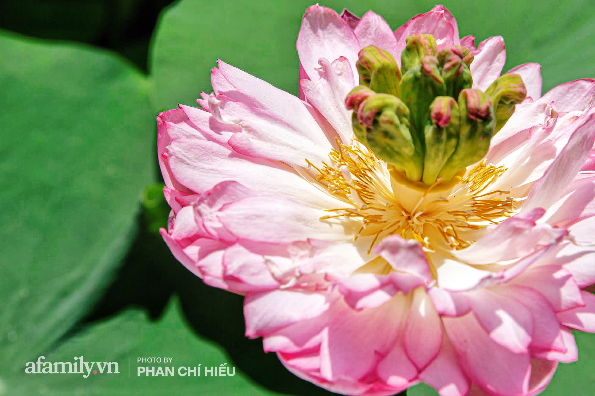 Độc đáo với thú chơi sen cung đình Huế tại Hà Nội, nở hoa tuyệt đẹp giữa ngôi nhà cổ trăm năm tuổi khiến bao người mê mẩn - Ảnh 6.