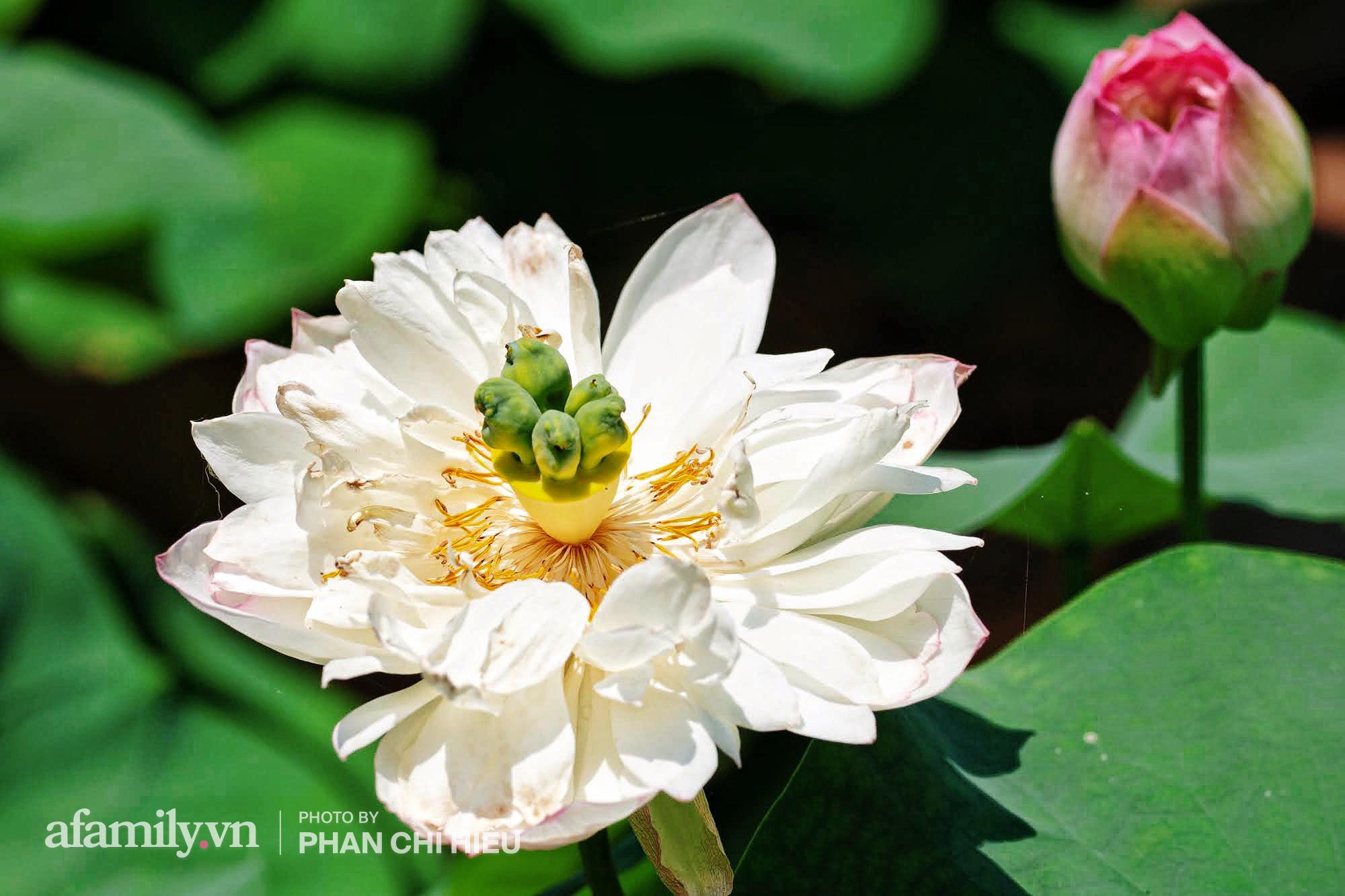 Độc đáo với thú chơi sen cung đình Huế tại Hà Nội, nở hoa tuyệt đẹp giữa ngôi nhà cổ trăm năm tuổi khiến bao người mê mẩn - Ảnh 5.
