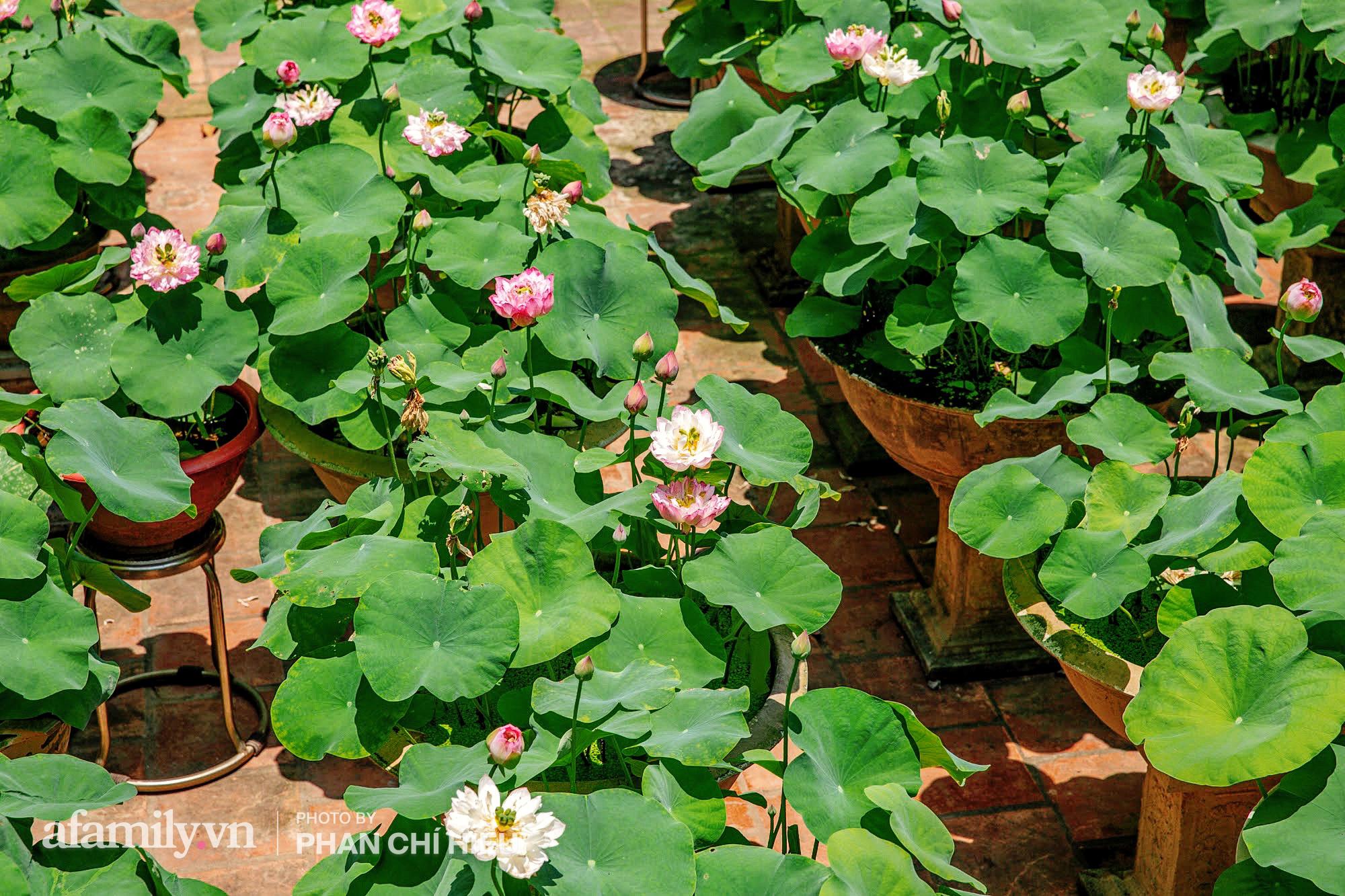 Độc đáo với thú chơi sen cung đình Huế tại Hà Nội, nở hoa tuyệt đẹp giữa ngôi nhà cổ trăm năm tuổi khiến bao người mê mẩn - Ảnh 10.