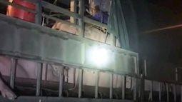 Gần 20 người trốn trong xe tải chở lợn để qua mắt chốt soát dịch Covid-19