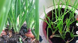 Dân mạng lại phát sốt với trend trồng hành lá tại gia, thao tác làm siêu đơn giản mà lại có hành vừa ngon vừa sạch ăn trong mùa dịch