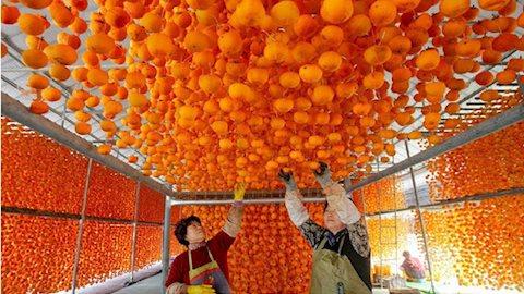 """Mỗi độ thu về, nông dân Nhật Bản lại treo hàng nghìn quả hồng lên giàn, tỉ mỉ làm ra đặc sản đắt đỏ mà ngon """"nuốt lưỡi"""""""